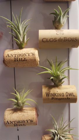 Air plant on an old wine cork