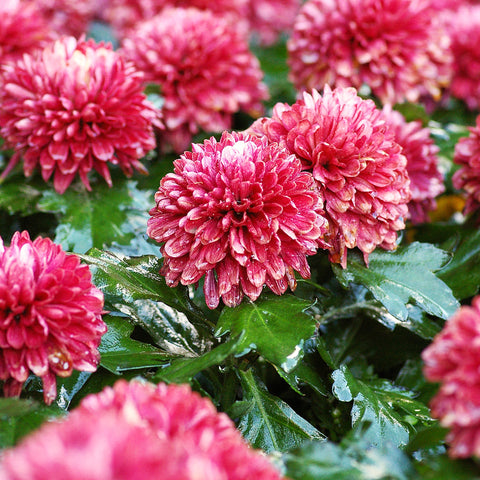 "alt= ""garden of blooming dark pink Chrysanthemum flowers"""