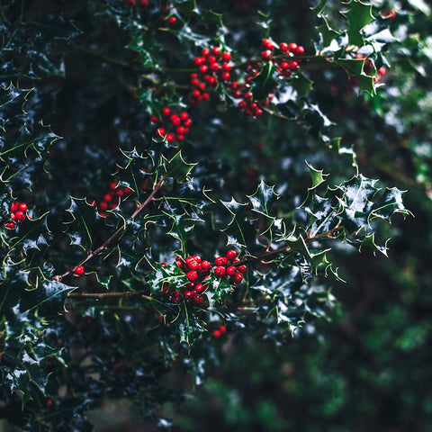 "alt= ""Holly tree with red berries"""