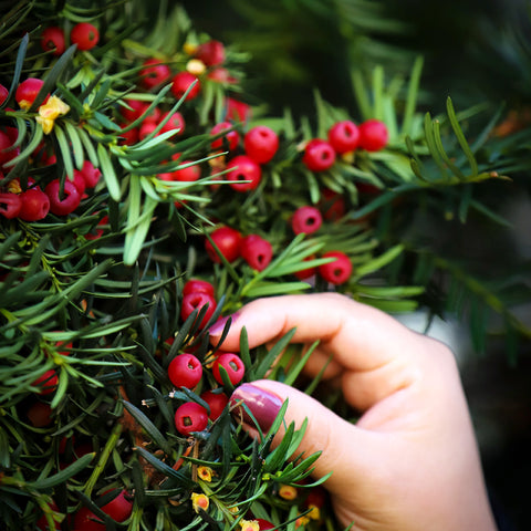 "alt= ""Yew tree with red berries"""