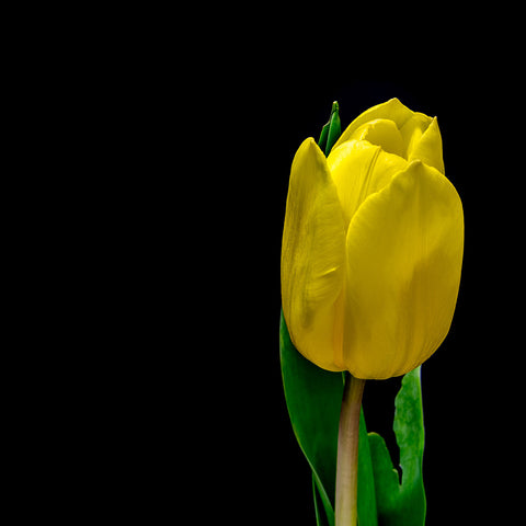 "alt= ""single yellow tulip"""