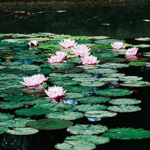 "alt= ""blooming pink water lilies in a pond"""