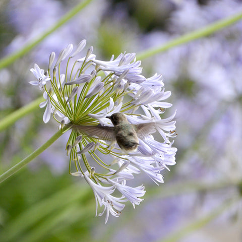 "alt=""hummingbird hovering above a light purple agapanthus"""