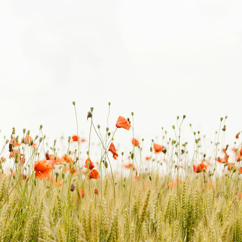 """alt=""""field of red poppies"""""""