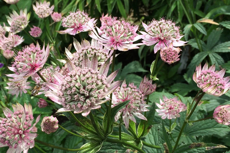 Light Pink Astrantia
