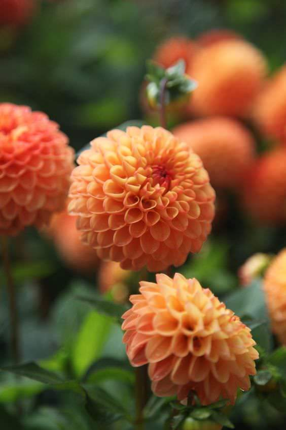 Dahlia Souvenir D'Ete Orange