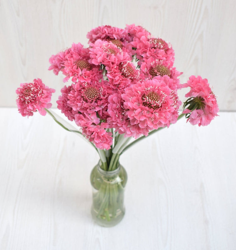 Hot Pink Scoop Scabiosa