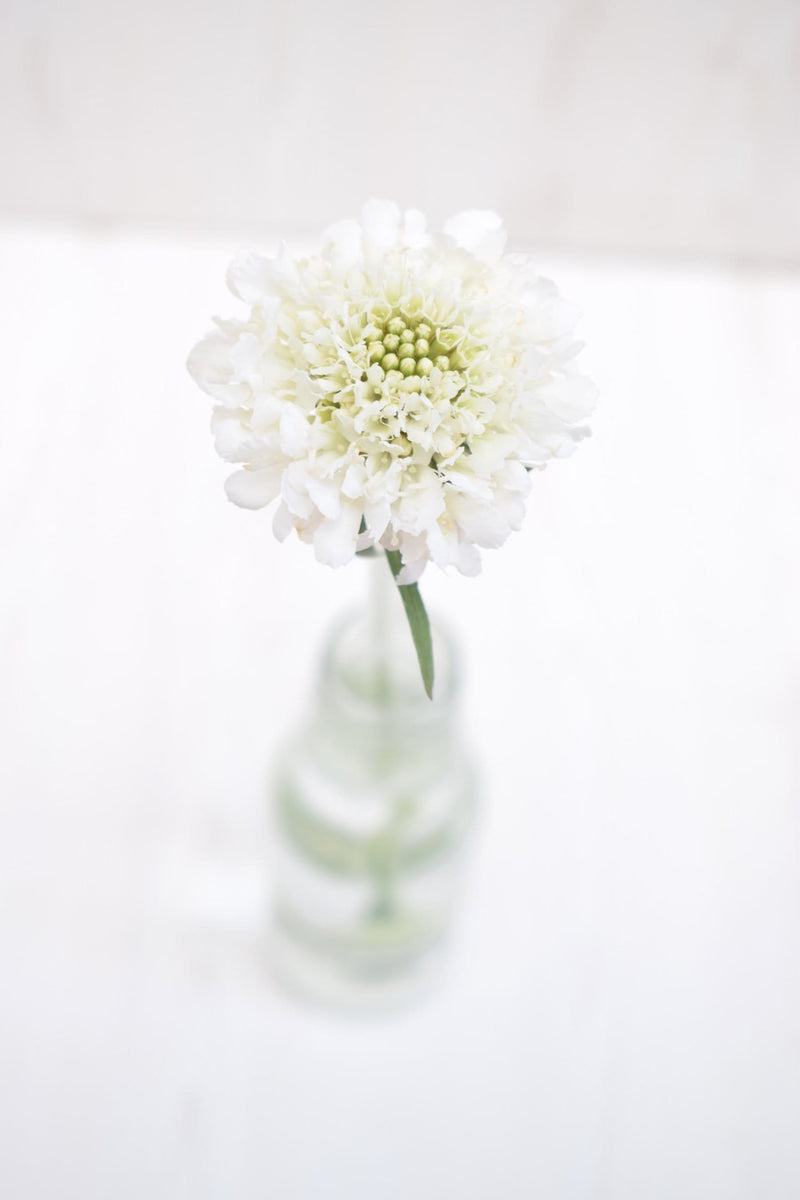White Scoop Scabiosa