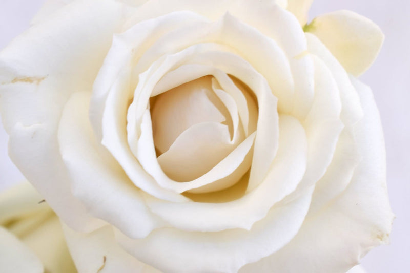 White Majolica Rose