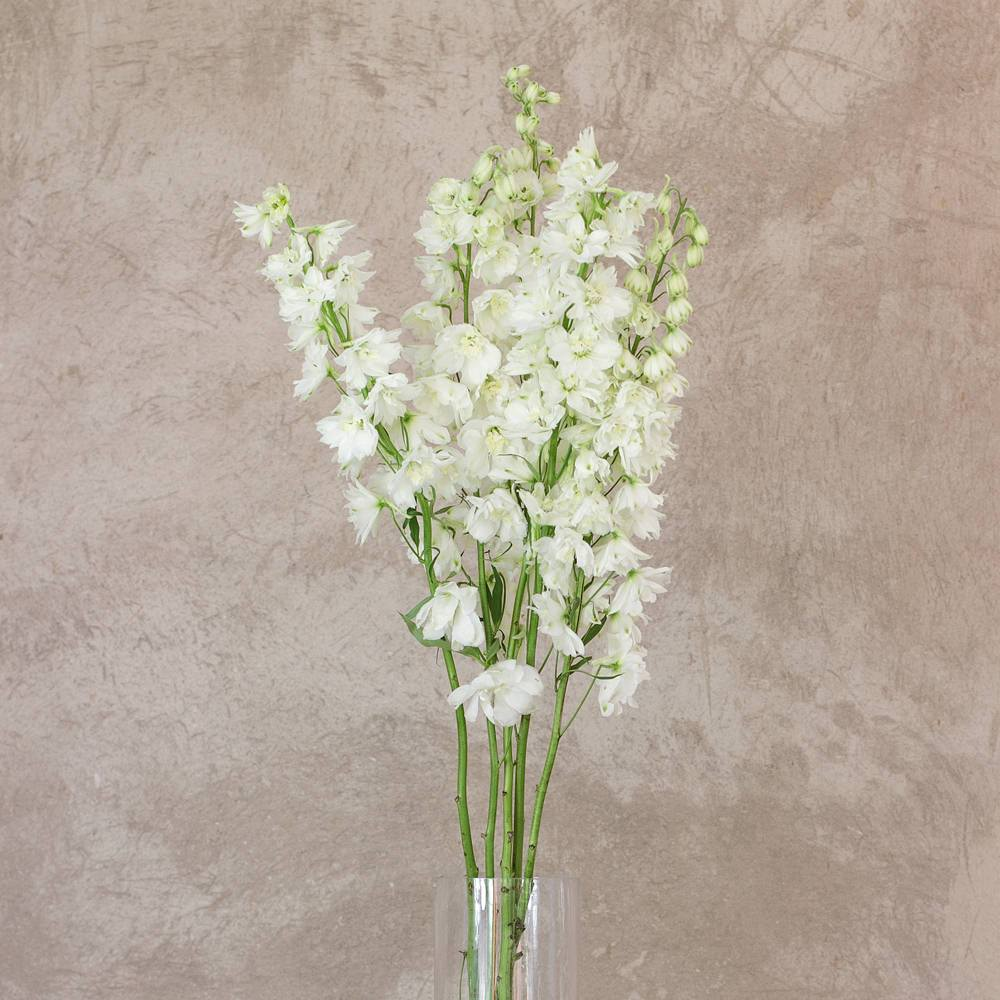 White Delphinium Royal