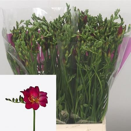 Freesia Double Adele Dark Pink