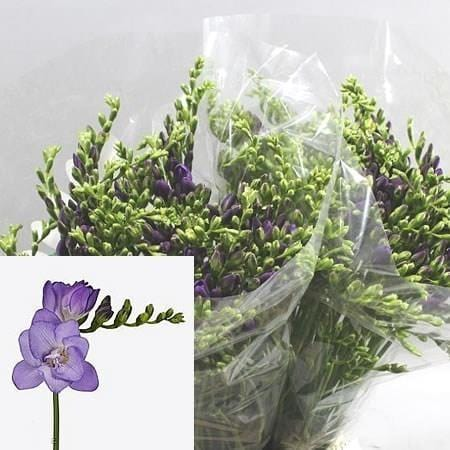 Freesia Double Biscaya Light Purple