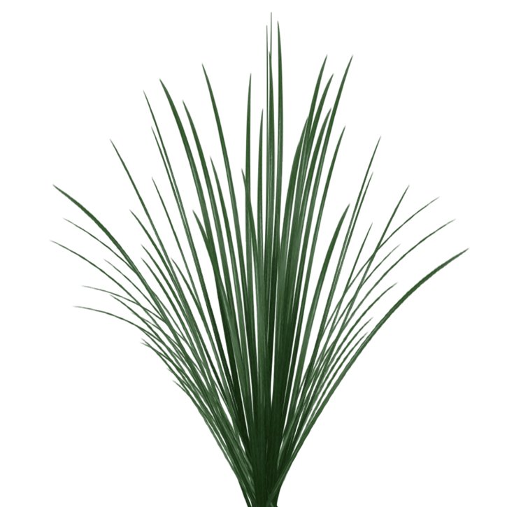 Green Lily Grass