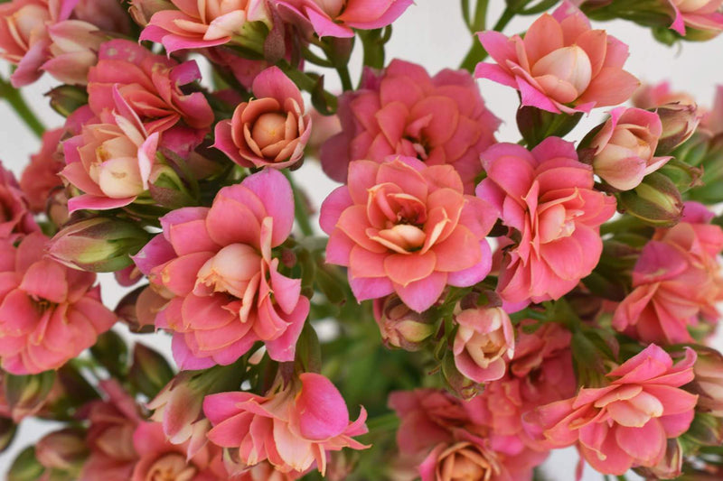 Lovable Pink Kalanchoe