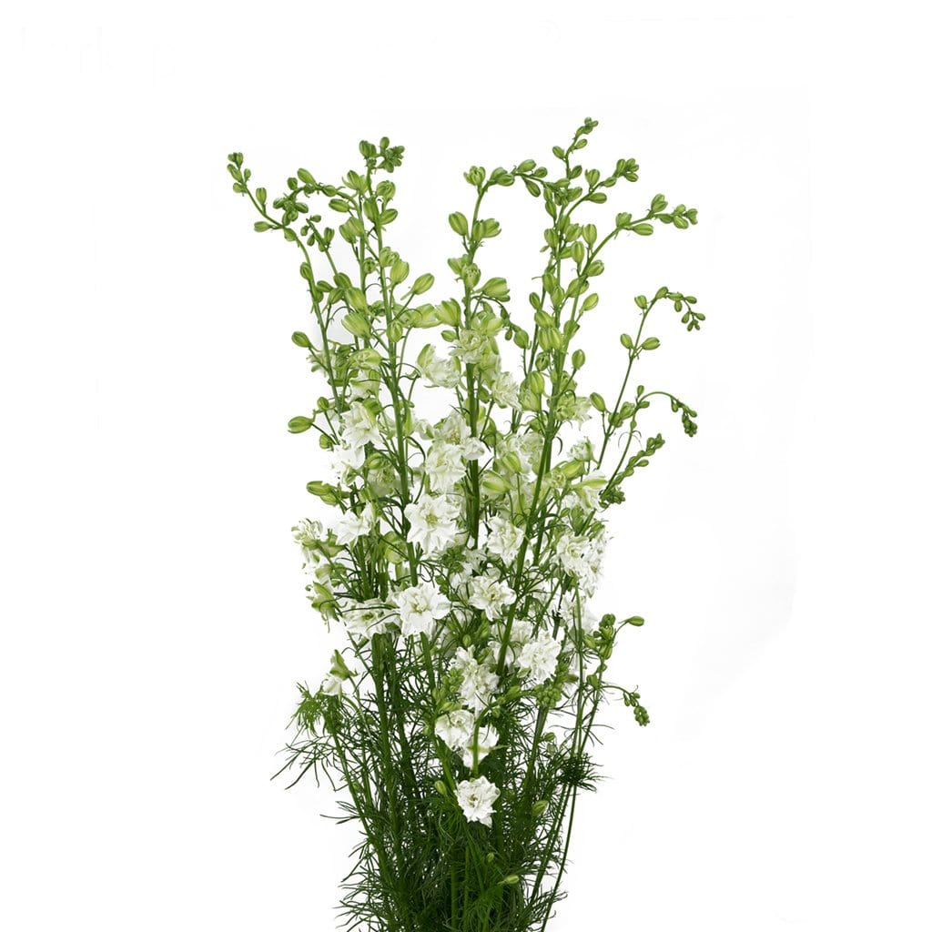 Larkspur White King