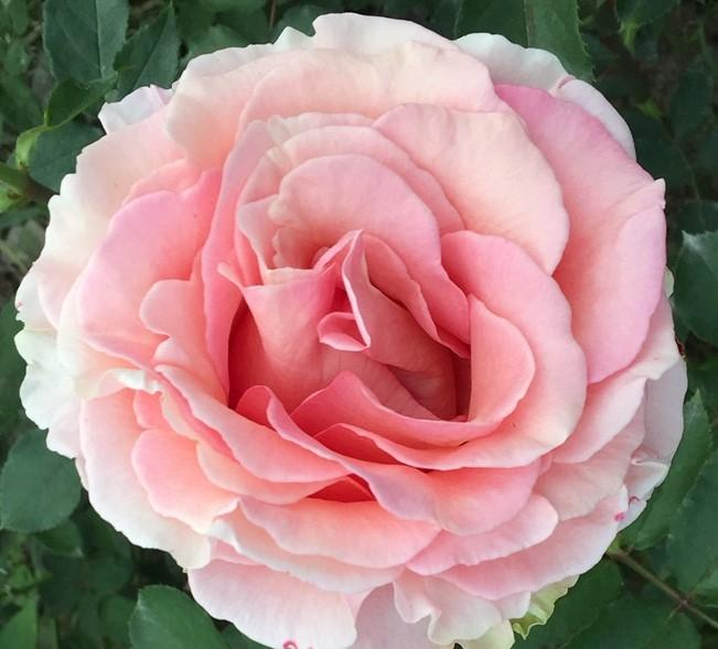 Pink Finesse Garden Rose