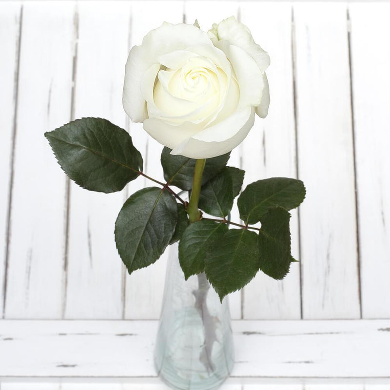 White rose, polar star rose