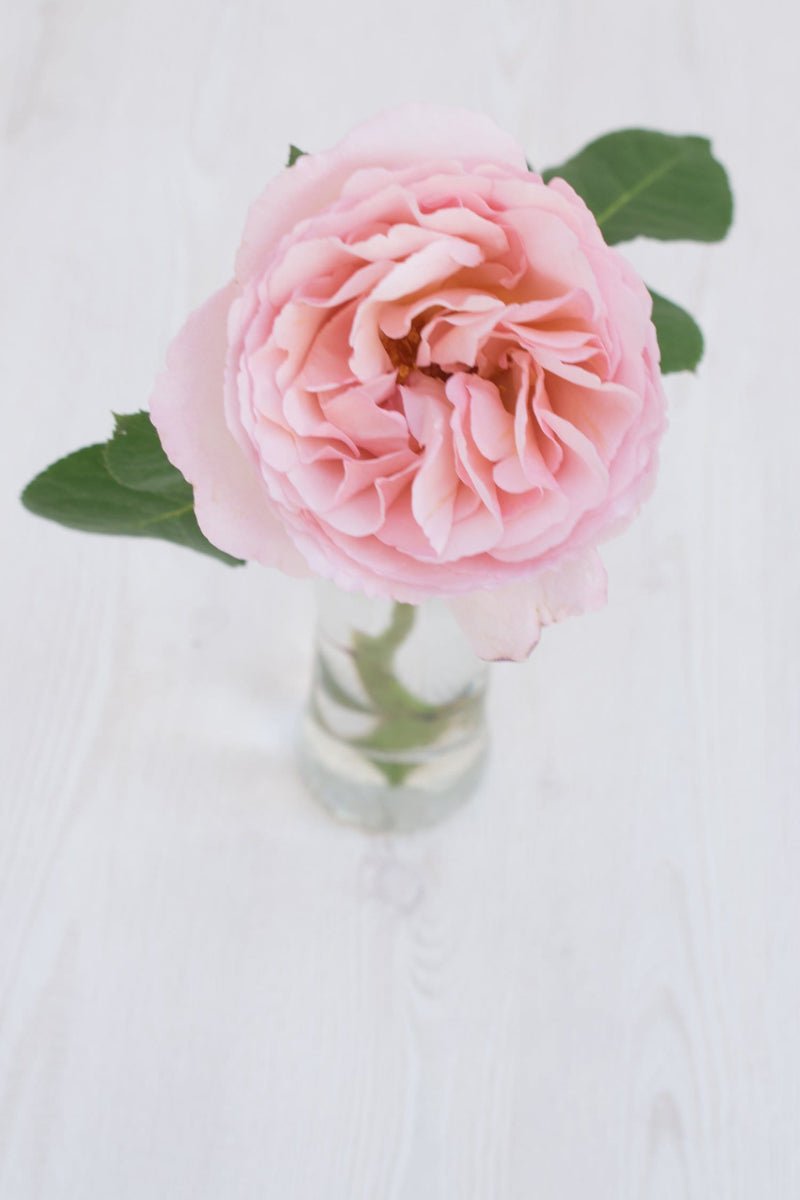 Princess Charlene garden rose