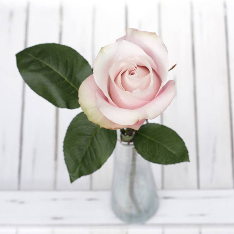 dusty light pink rose