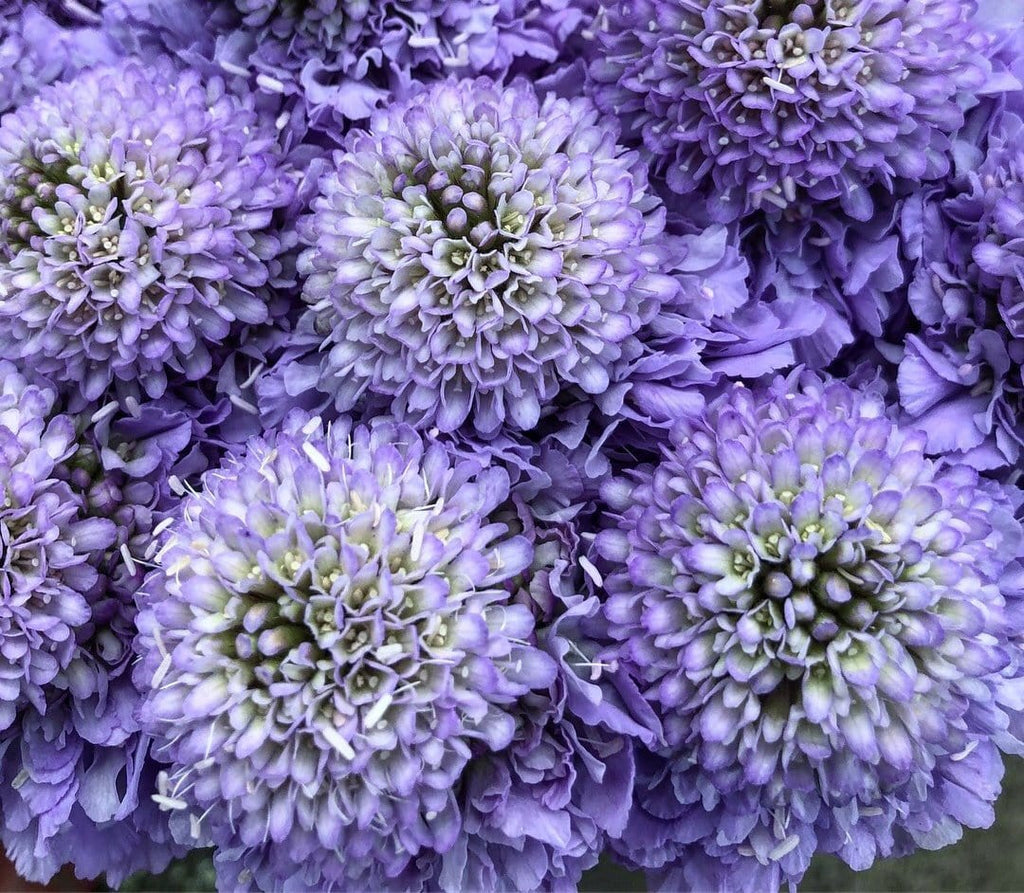 Soft Scoop Scabiosa