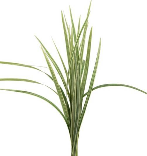 Variegated Lily Grass