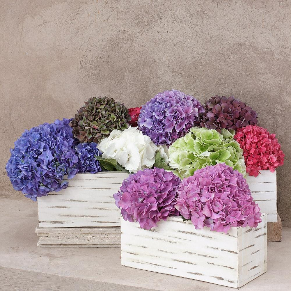 Assorted Dutch Hydrangeas