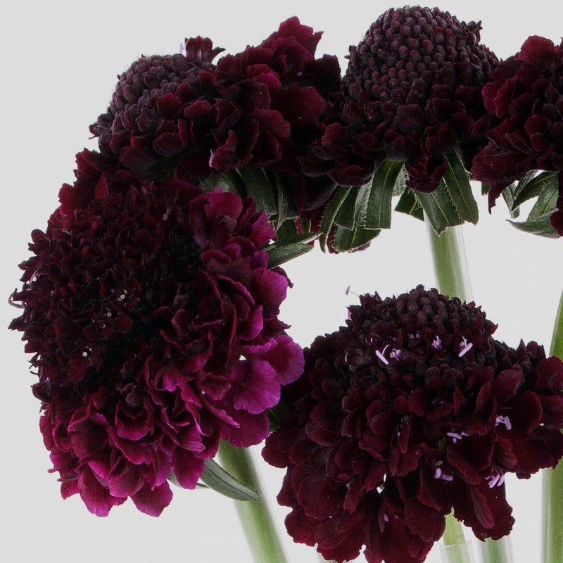 Black Berry Scabiosa