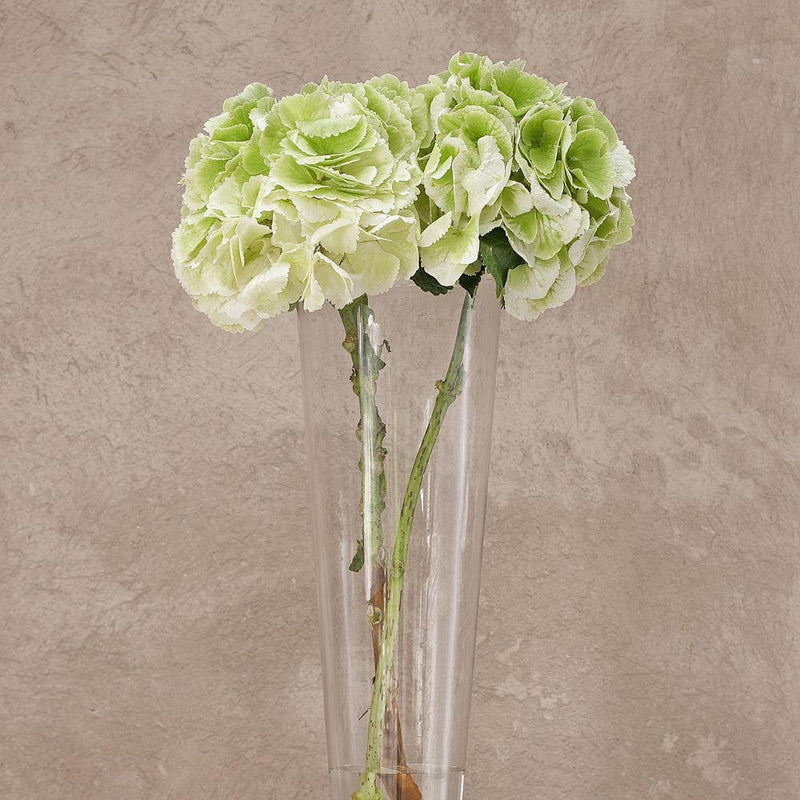 Green Dutch Hydrangeas