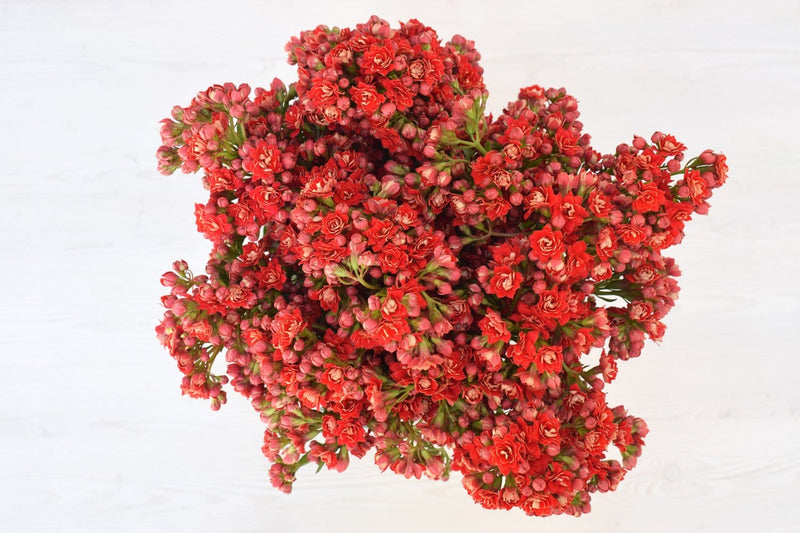 Pretty Red Kalanchoe
