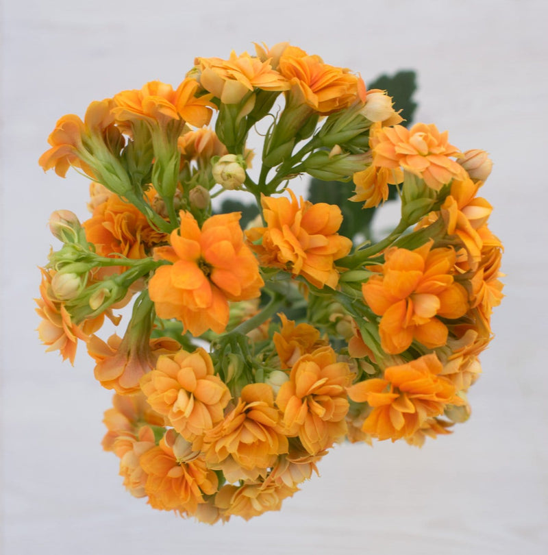 Light Orange Kalanchoe
