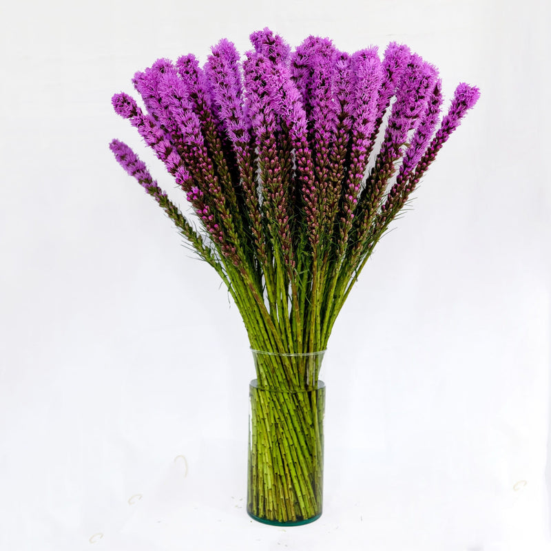 Liatris Purple