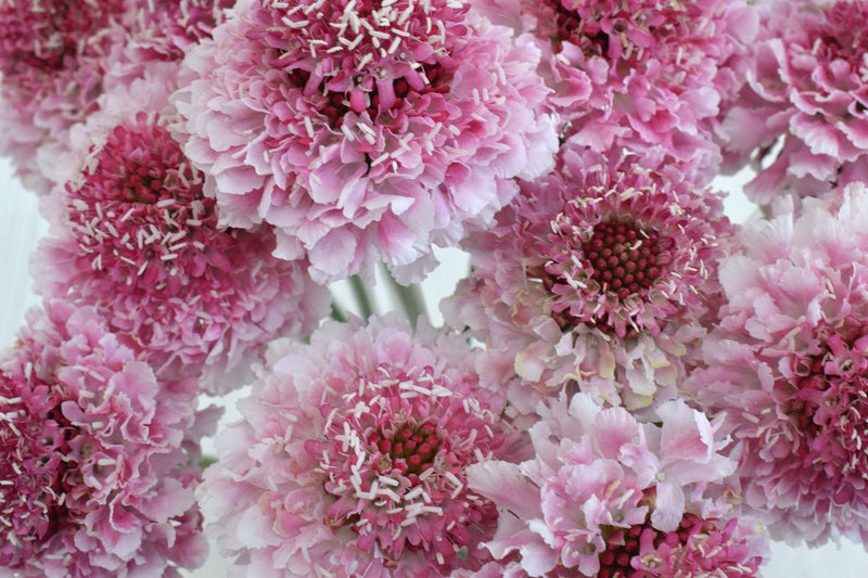 Marshmallow Scoop Scabiosa