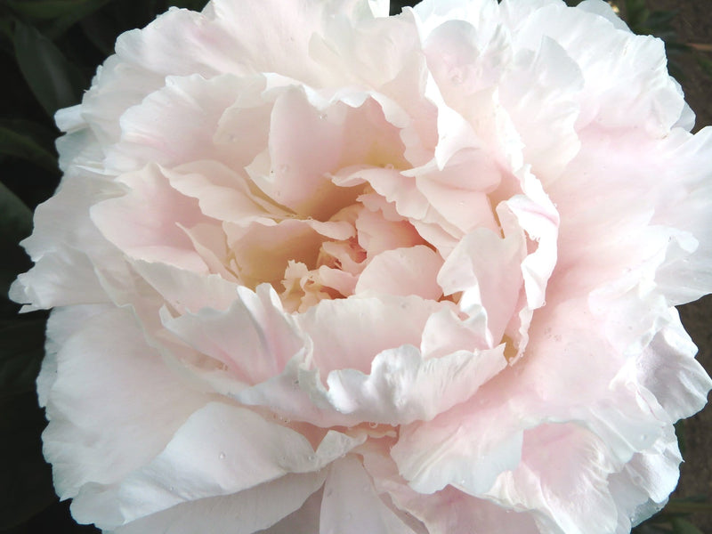 Mother's Choice Peony