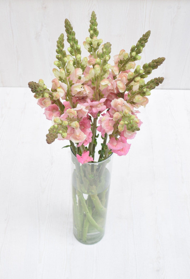 Light Pink Snapdragon