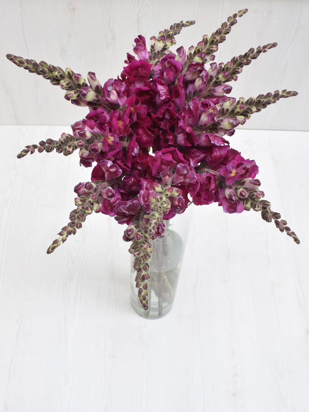 Purple Snapdragon