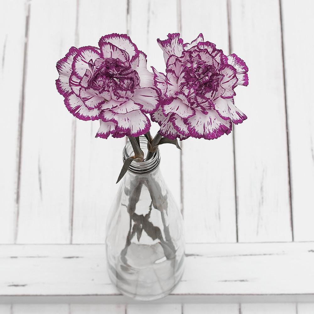 Purple and Ivory Carnation