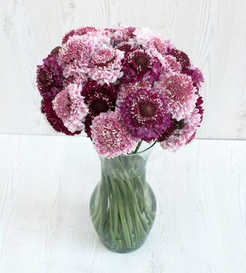 Assorted Scoop Scabiosa