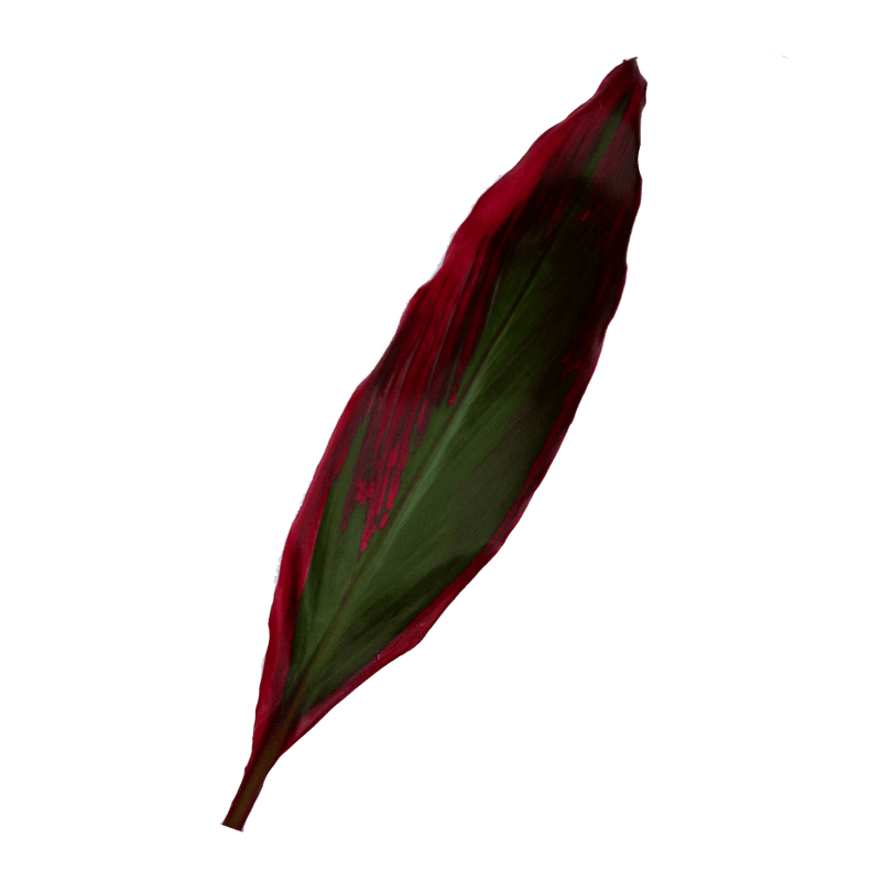 Red Shiny Leaf TI