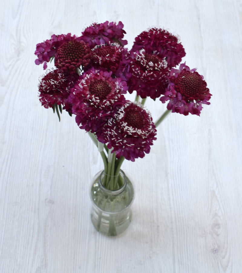 Strawberry Scoop Scabiosa