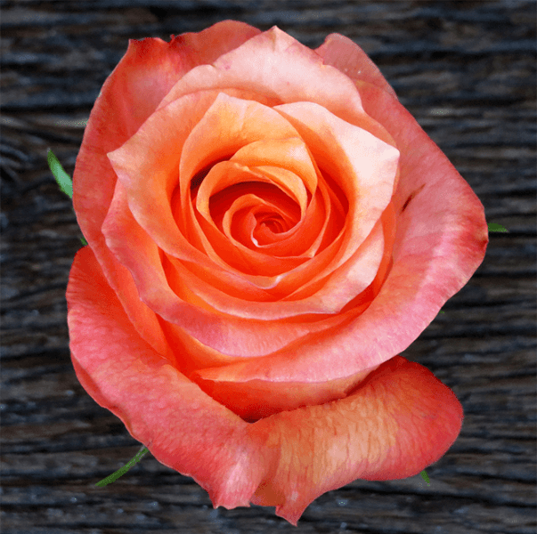 Twilight Rose