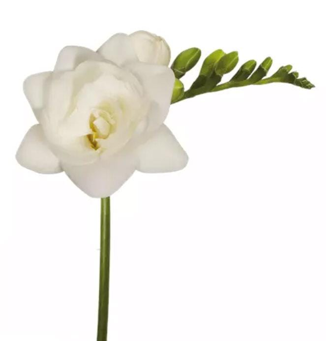 Freesia Double Belleville White