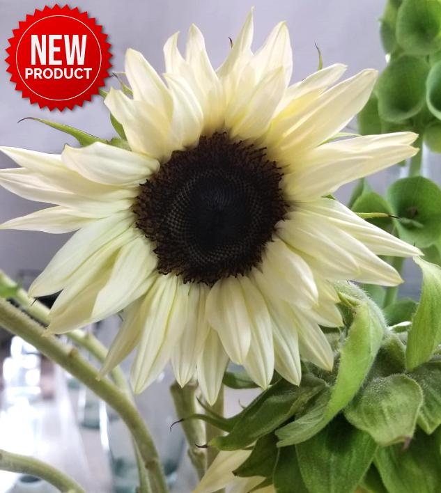 White Sunflower