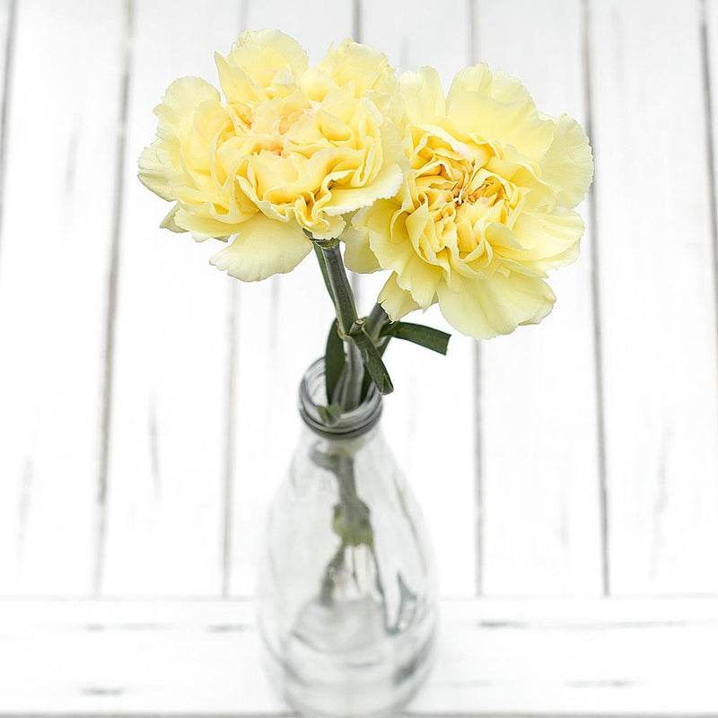 yellow carnation