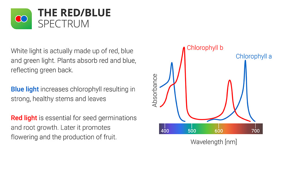 The Red/Blue Spectrum. White light is actually made up of red, blue, and green light. Plants absorb red and blue, reflecting green back. Blue light increases chlorophyll, resulting in strong, healthy stems and leaves. Red light is essential for seed germinations and root growth. Later it promotes flowering and the production of fruit. Wavelength and absorbance chart shown.