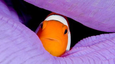 anemone fish in anemone mantle