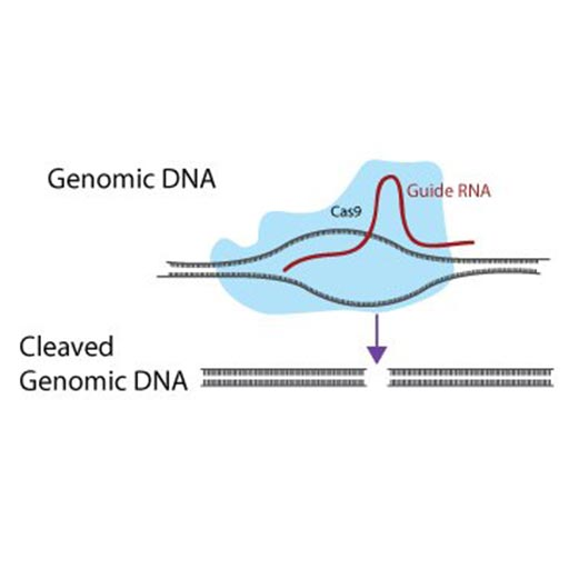 CRISPR sgRNA Constructs, Vectors, and Cells