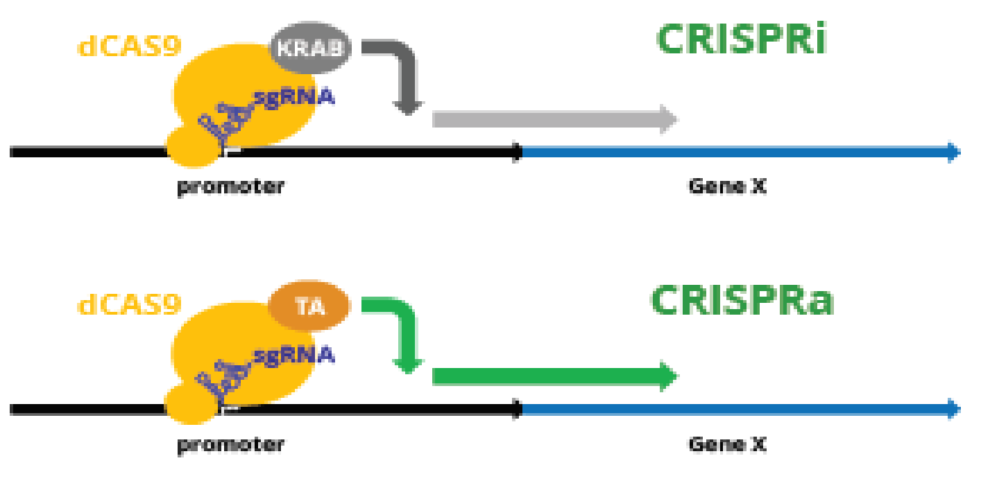 CRISPRa and CRISPRi Lentiviral sgRNA Libraries