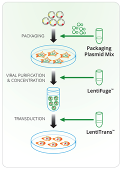 Lentiviral Packaging and Transduction