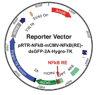 Reporter Cell Line Activation