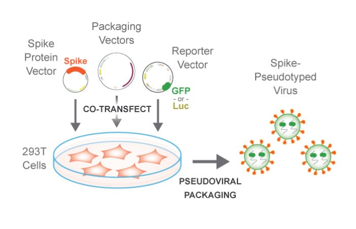 co-trasnfect pseudoviral packaging